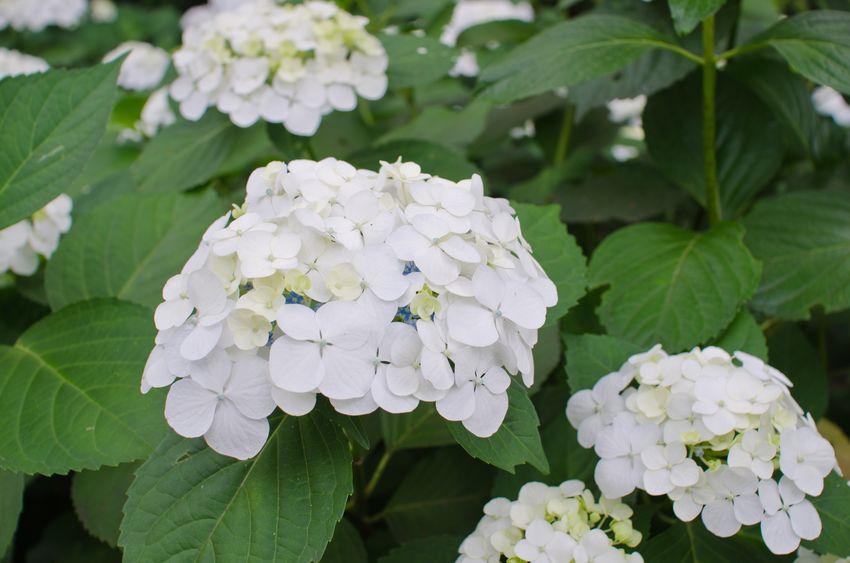 白色のアジサイの花言葉に関する雑学