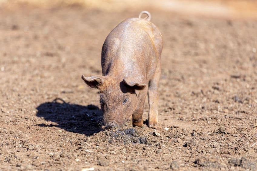 トリュフを採取するのに豚が使われなくなった理由に関する雑学