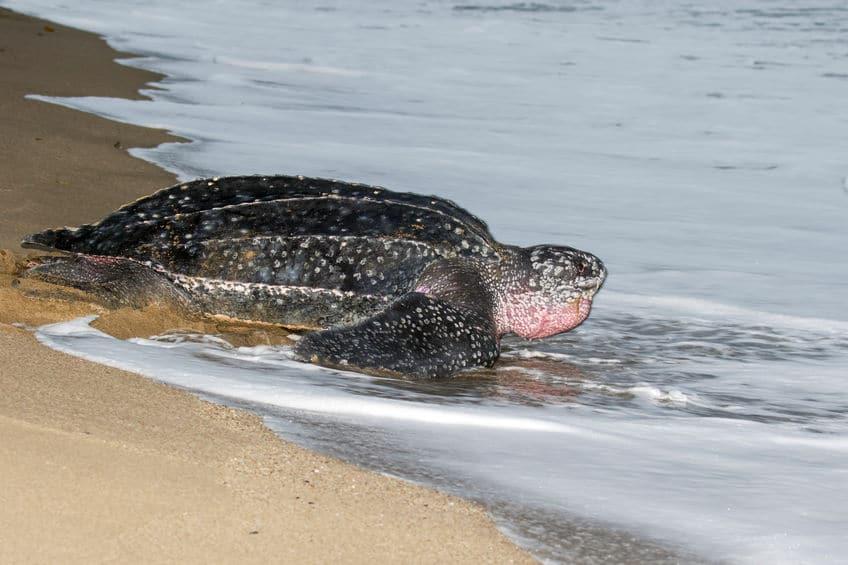 ウミガメが産卵時に流しているのは「涙」ではない