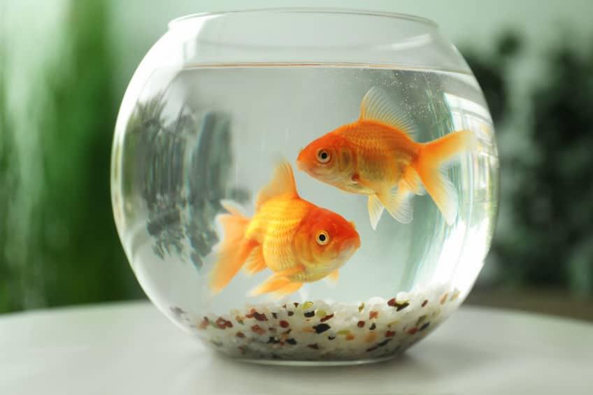 金魚の飼い方に関する雑学まとめ