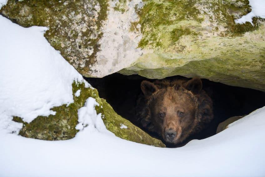 クマの冬眠行動は生物学的には難しいという雑学