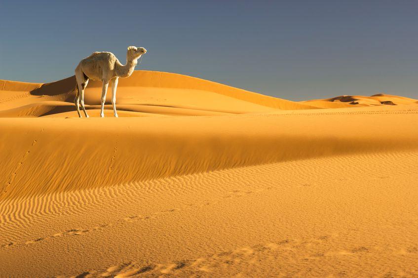 ラクダのまぶたが三重である理由に関する雑学