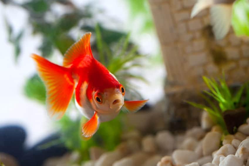 金魚すくいの金魚を長生きさせるコツに関する雑学