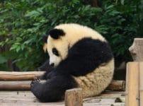 パンダに関する雑学まとめ