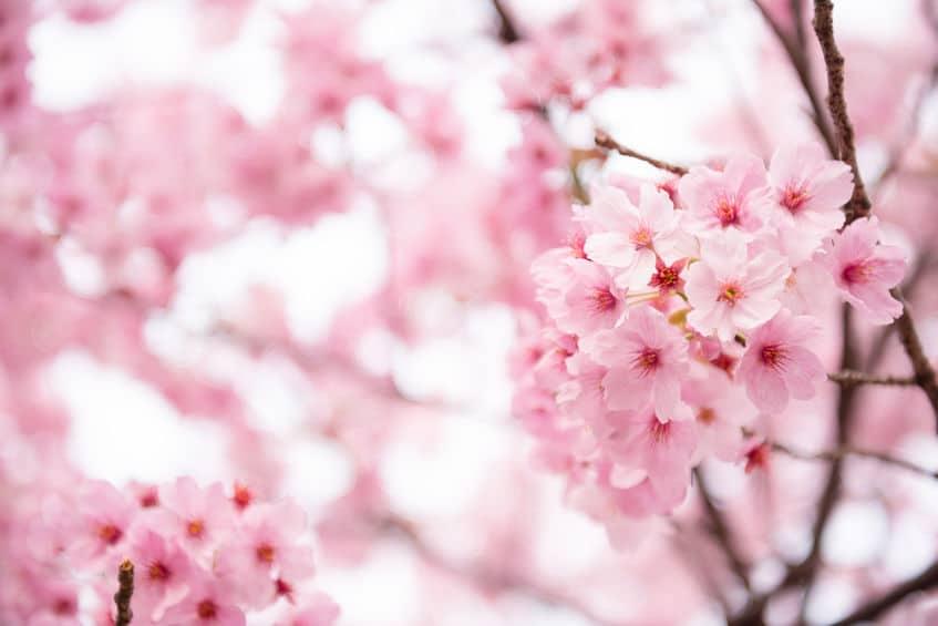 日本で一番古い「神代桜」は樹齢2000年という雑学まとめ