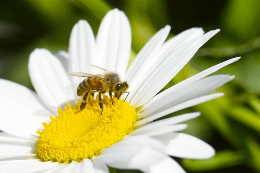 小さくても記憶力は抜群!ミツバチはなぜ巣に戻ってこれるの?というトリビアまとめ