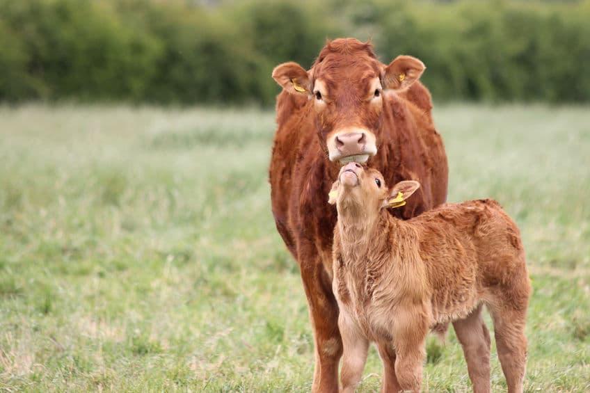 インドの牛は実は「野良」ではない!?というトリビア