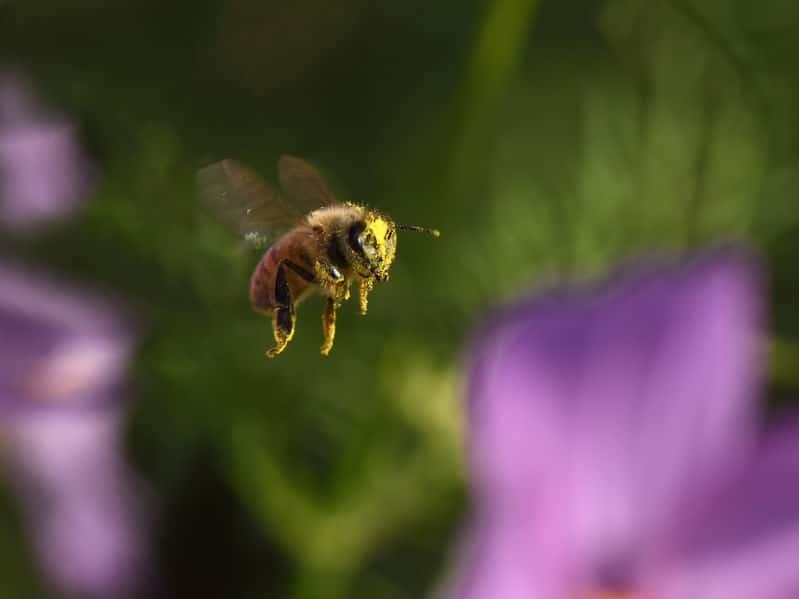 ミツバチは飛行の練習をしながら巣の場所を記憶するというトリビア
