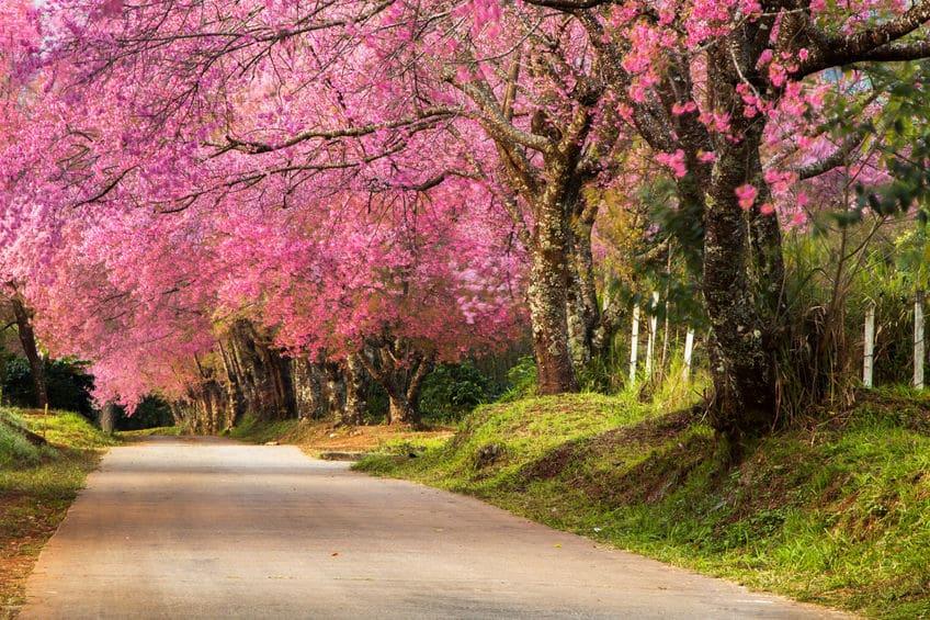 2月1日からの最高気温を足して600℃が桜の開花の目安という雑学