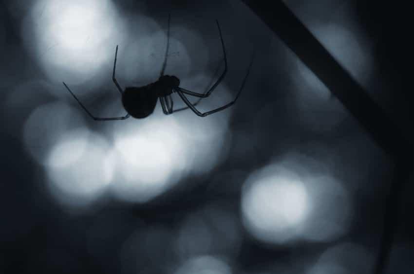 クモがクモの巣に引っかからない理由についてのトリビア