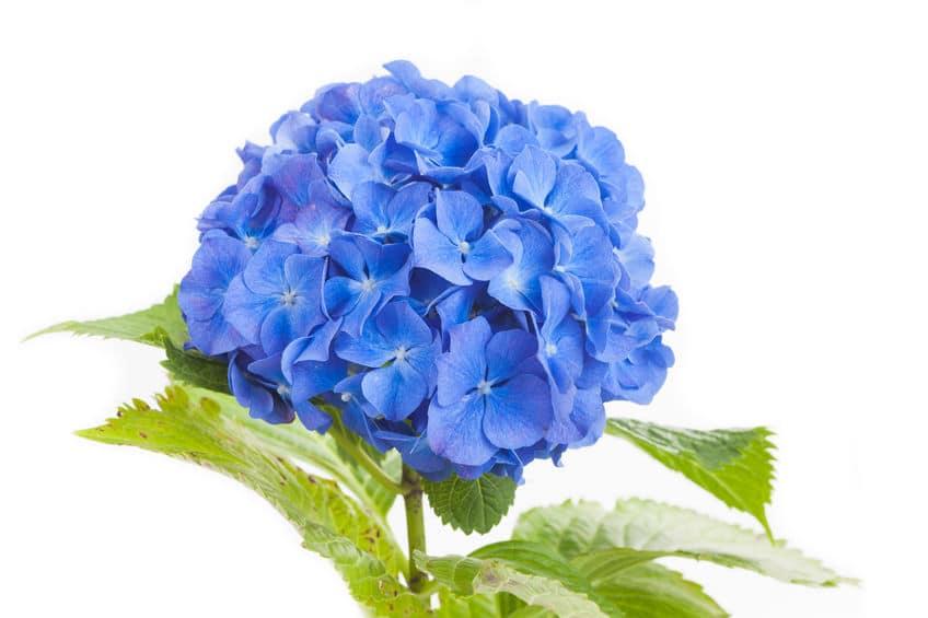 青色のアジサイの花言葉に関する雑学