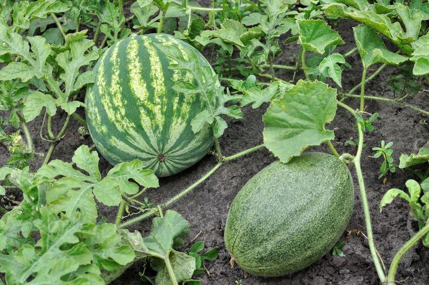 育てやすい果物に関する雑学