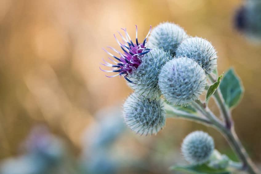ネガティブな花言葉ばかりの理由はゴボウの花にある!というトリビア