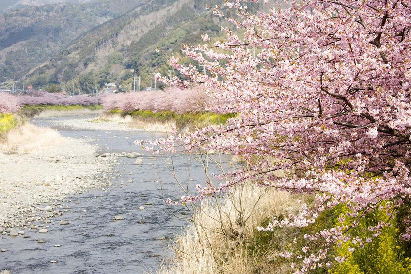 桜が土手沿いに多い理由に関する雑学