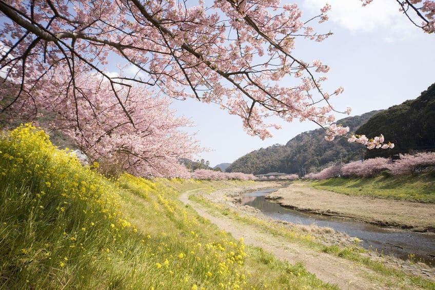 桜の木が土手沿いに多く植えられているのは川の氾濫を防ぐためという雑学まとめ