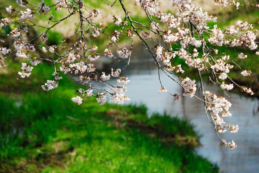 桜の木は意外と繊細であるという雑学