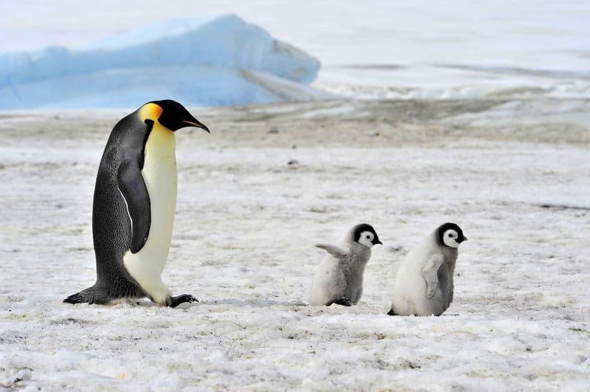 """なぜ絶滅した…?ペンギンの""""先祖""""は""""オオウミガラス""""。についてのトリビアまとめ"""
