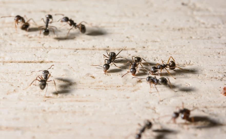墓場を作る葬儀アリがいるというトリビア