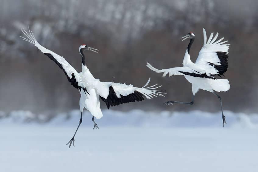 鶴は夫婦仲の象徴ともされているという雑学