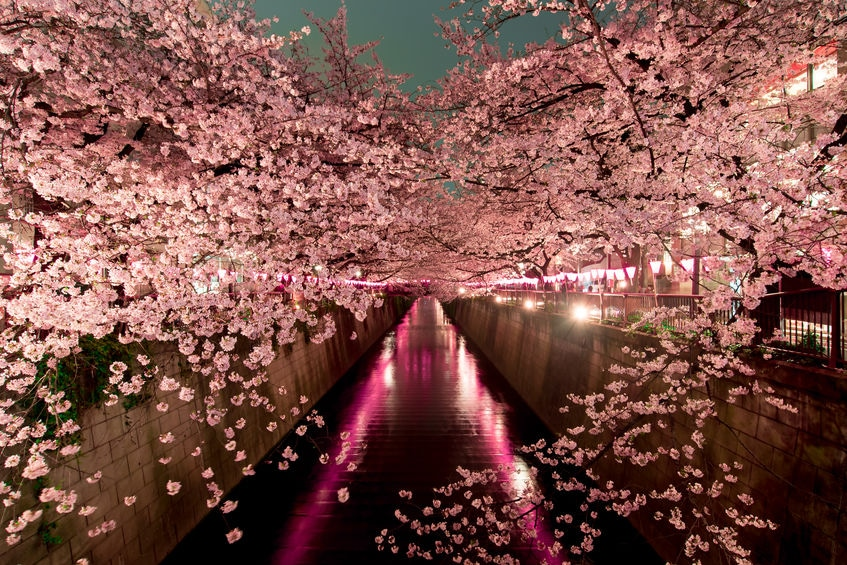 桜の開花は「400℃の法則」でも予測できるという雑学