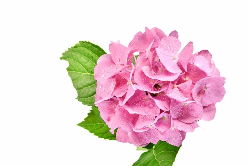 ピンク色のアジサイの花言葉に関する雑学