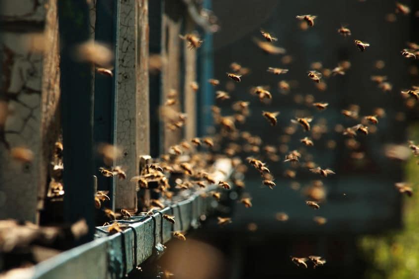 ミツバチの集団体制は、驚くほど理路整然と管理されているというトリビア