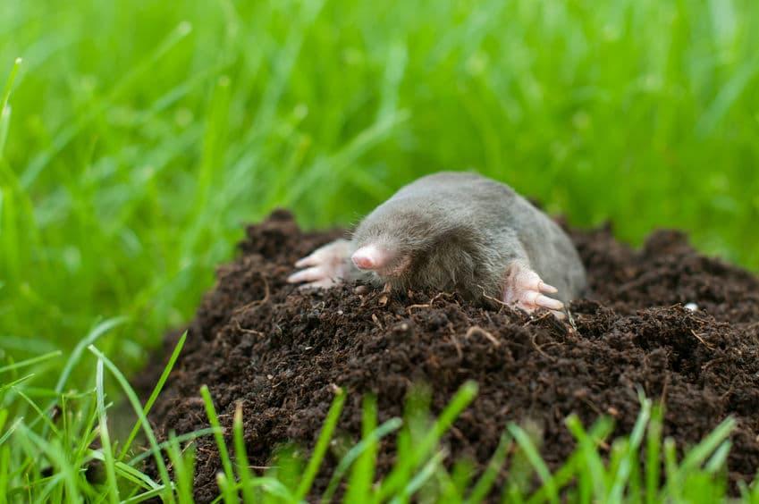 モグラの穴を掘るスピードはカタツムリより遅いというトリビア