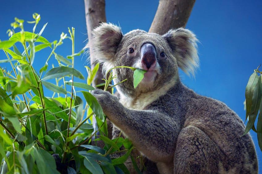ユーカリを食べられるのはコアラだけという雑学