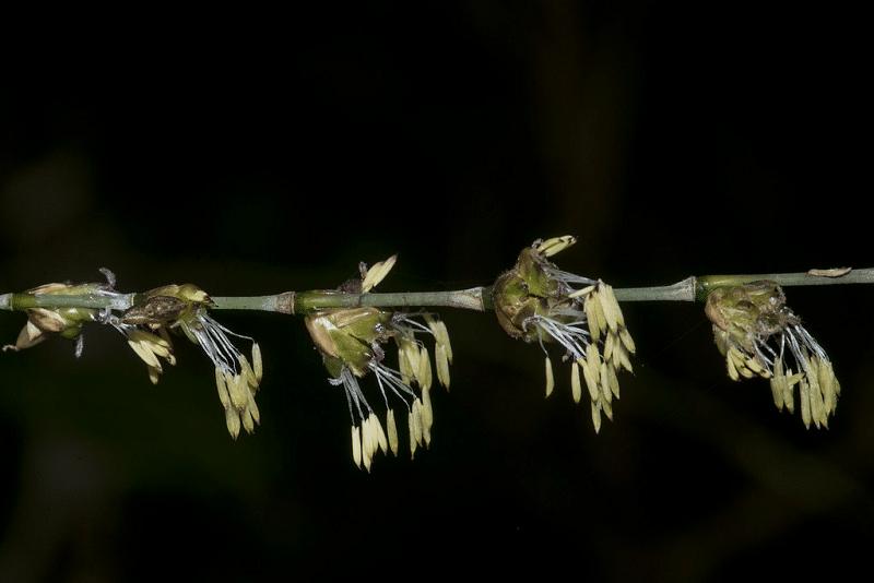 竹や笹は、一生に一度だけ花を咲かせるというトリビア