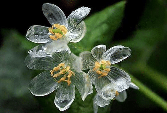 サンカヨウとはどんな花?というトリビア